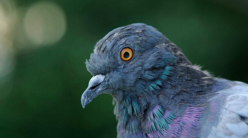 Почему голуби опасны для человека